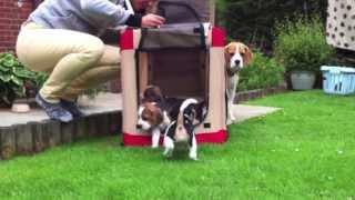 Cute Beagle Puppies Playing!