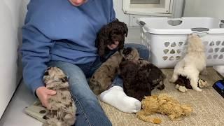 Autumn's Schnoodle puppies April 30, 2020