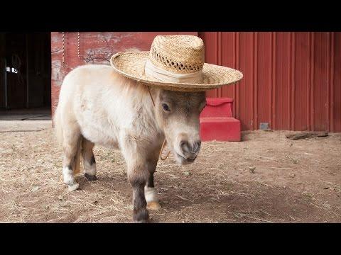 Miniature Horse Is Becoming An Internet...