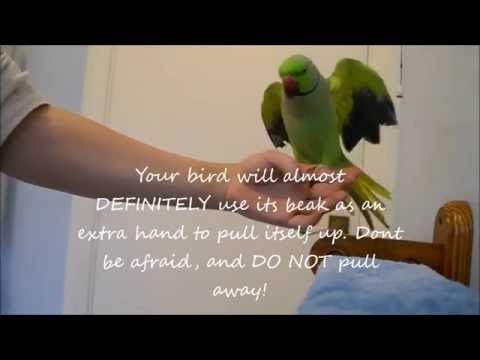 How To Tame a parrot – How To Teach An Untamed Indian Ringneck Parrot To Step Up