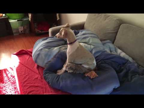 This is what love looks like - whippet Link's reaction when owner comes home