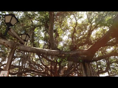 The Amazing Banyan Tree in Lahaina, Maui. Hawaii. FIlmed with DJI Phantom 3 Pro and DJI Osmo.