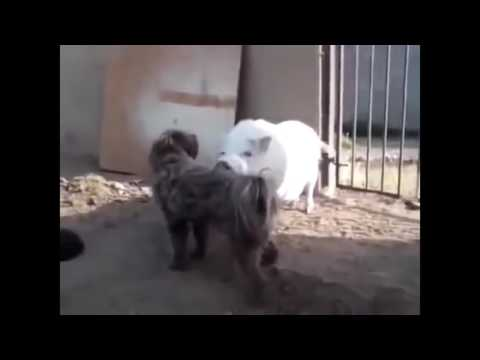 Not believe my eyes - Animal die after mating | Dog Chihuahua, Pig, Rooster mating fail(new)