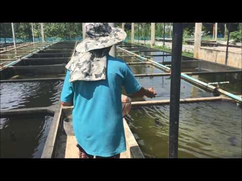 Trại Asit 2017 ( Goldfish Farm Asit 2017 )