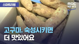 [스마트 리빙] 고구마, 숙성시키면 더 맛있어요 (2020.11.24/뉴스투데이/MBC)