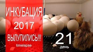 Как вылупляются цыплята - реальное видео из инкубатора(В конце видео будет съемка Timelapse. Ну вот и ВЫЛУПИЛИСЬ! В этом видео расскажу вам как вылупились цыплята, чем..., 2017-02-23T16:44:46.000Z)