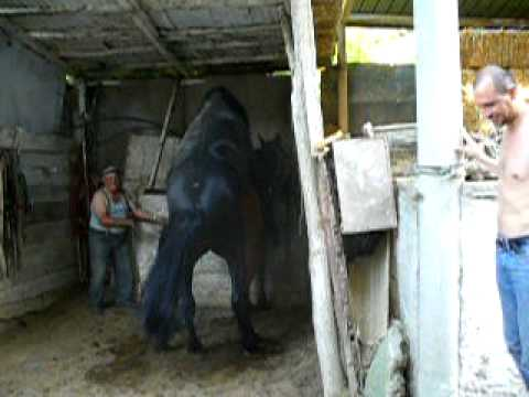 Horses mating in Mingon's House - YouTube