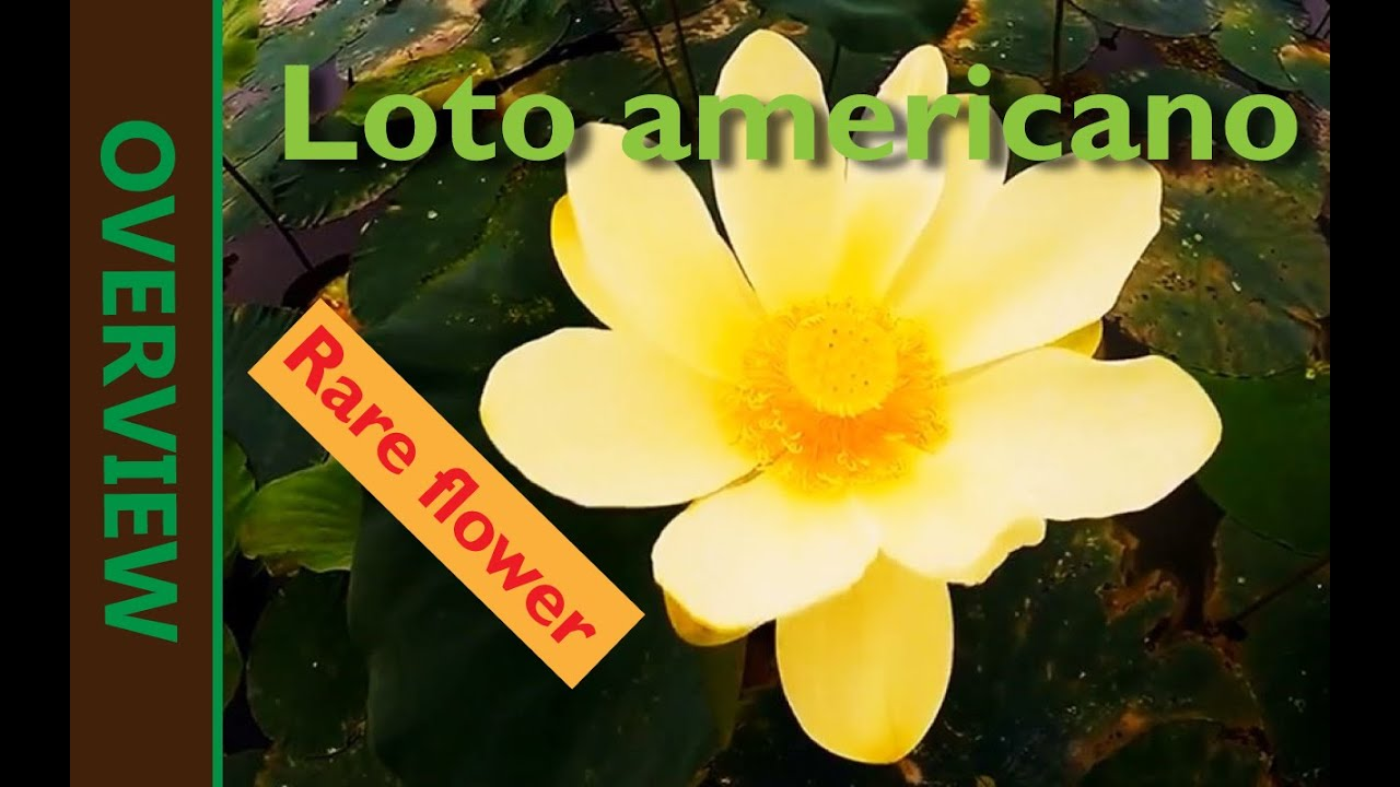 American Lotus Overwiew Youtube