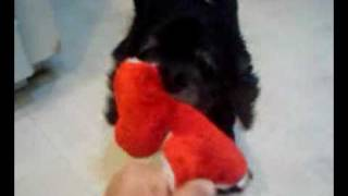 Blind Cocker Spaniel Plays With Toy