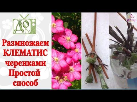 Как размножить клематис черенками весной видео