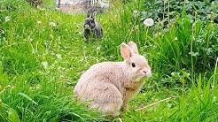 LIVE - Bunny Cam #4 - Windy Garden Run - Netherland Dwarf Rabbits