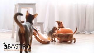 """Питомник Абиссинских кошек """"Bastira"""" (видео_1)"""
