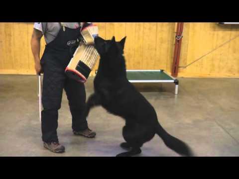 Beautiful Black German Shepherd 'Tiberius' Obedience Protection Training Home K9 Executive
