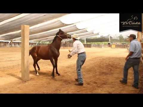 ESPECIAL: Cabezal Sierra Horse Halter  - www.delcaballista.com (HD)