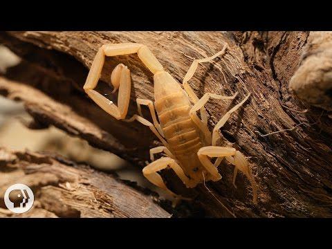 Stinging Scorpion vs. Pain-Defying Mouse | Deep Look