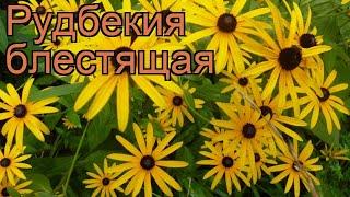 Рудбекия блестящая (rudbeckia fulgida) ???? блестящая рудбекия обзор: как сажать, саженцы рудбекии