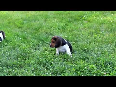 Beagle Puppies For Sale Jonas King A
