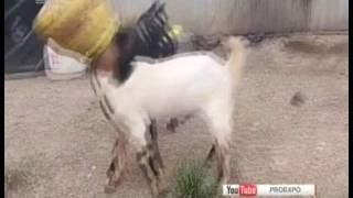 Два козла застряли в одном бидоне. Операция по спасения животных попала на ВИДЕО