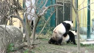 Pandas mating in Zoo Vienna - Schönbrunn