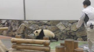 【やたら元気w💕】彩浜🌈お掃除タイムもハイテンション✨【赤ちゃんパンダ】Giant Panda -Saihin -☆High tension✨
