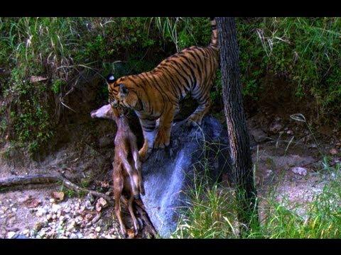 Tiger Cub's first Kill - David Attenborough - Tiger - Spy in the Jungle - BBC