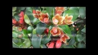 Houseplant Hints - Lipstick Plant (Aeschynanthus radicans)