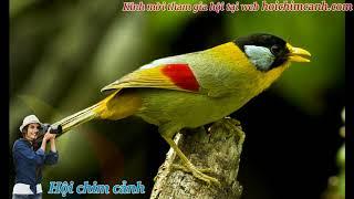 Chim ngũ sắc hót - hội chim cảnh