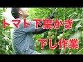 トマトの下葉かぎと下し作業・テレビ放送#421