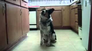 Попал в книгу рекордов Гинеса, как самый умный пес