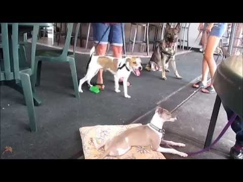 Enzo the Italian Greyhound Puppy Training