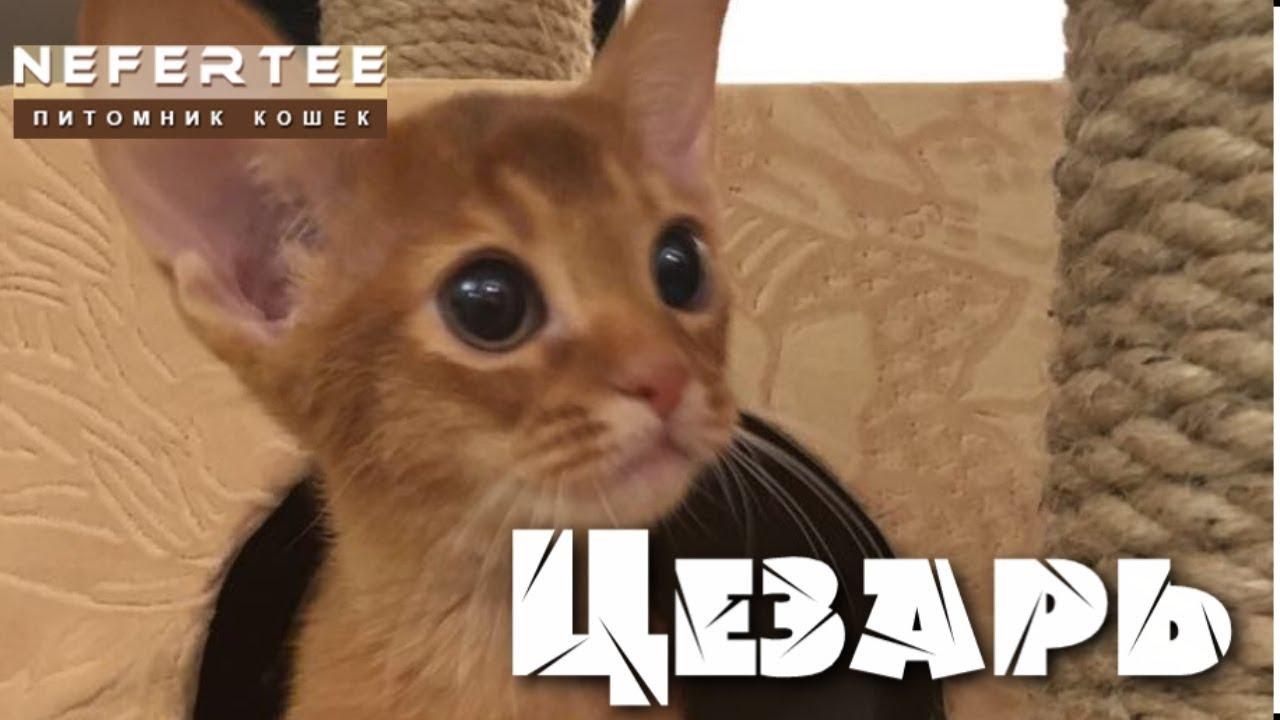 Тойгер котенок Капучино - YouTube