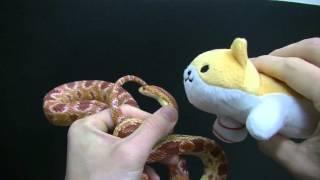 ヘビの瞬発力に、人間の反射神経でどれくらい対応できるのか実験してみ...