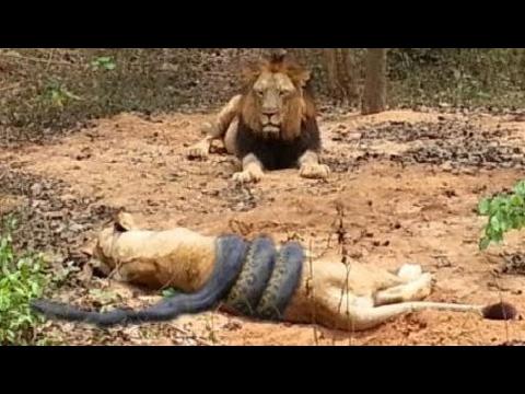 When Animals attack -  PYTHON vs LION ► Leopard Vs Crocodile - Anaconda Eats Crocodile Alive!