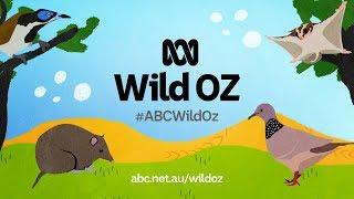 ABCWildOz thumbnail