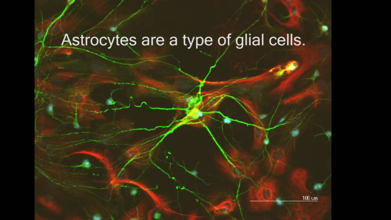 Neurons and Astrocytes: The Plot Thickens - YouTube