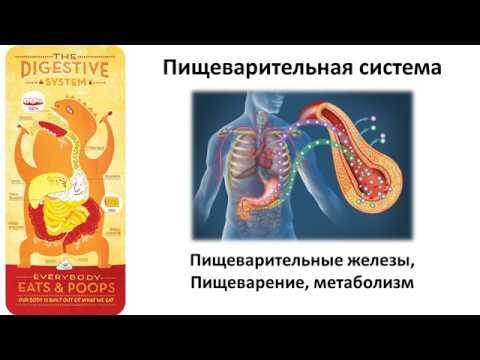 8.2 Пищеварение и метаболизм (8 класс) - биология, подготовка к ЕГЭ и ОГЭ 2019
