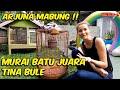 Arjuna Murai Batu Juara Tina Bule Kenapa Ya  Mp3 - Mp4 Download