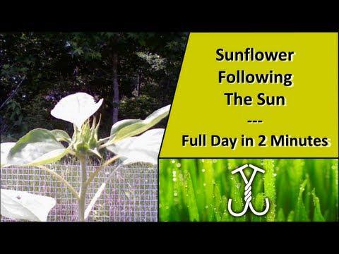 Time Lapse: Sunflower Following The Sun - Phototropism/Heliotropism