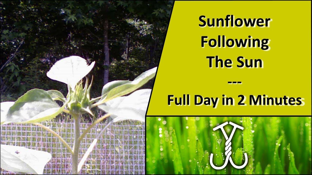 Time Lapse Sunflower Following The Sun Phototropism