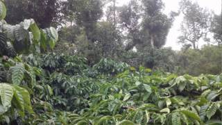 17.5 acre robusta coffee plantation for sale in chikkamgaluru