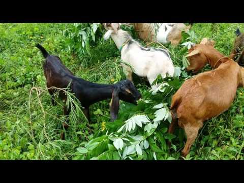 Goat raising @ juanito's farm