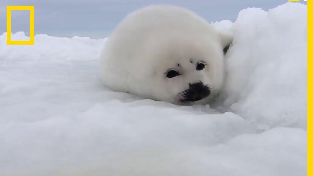 Un bébé phoque dans la neige