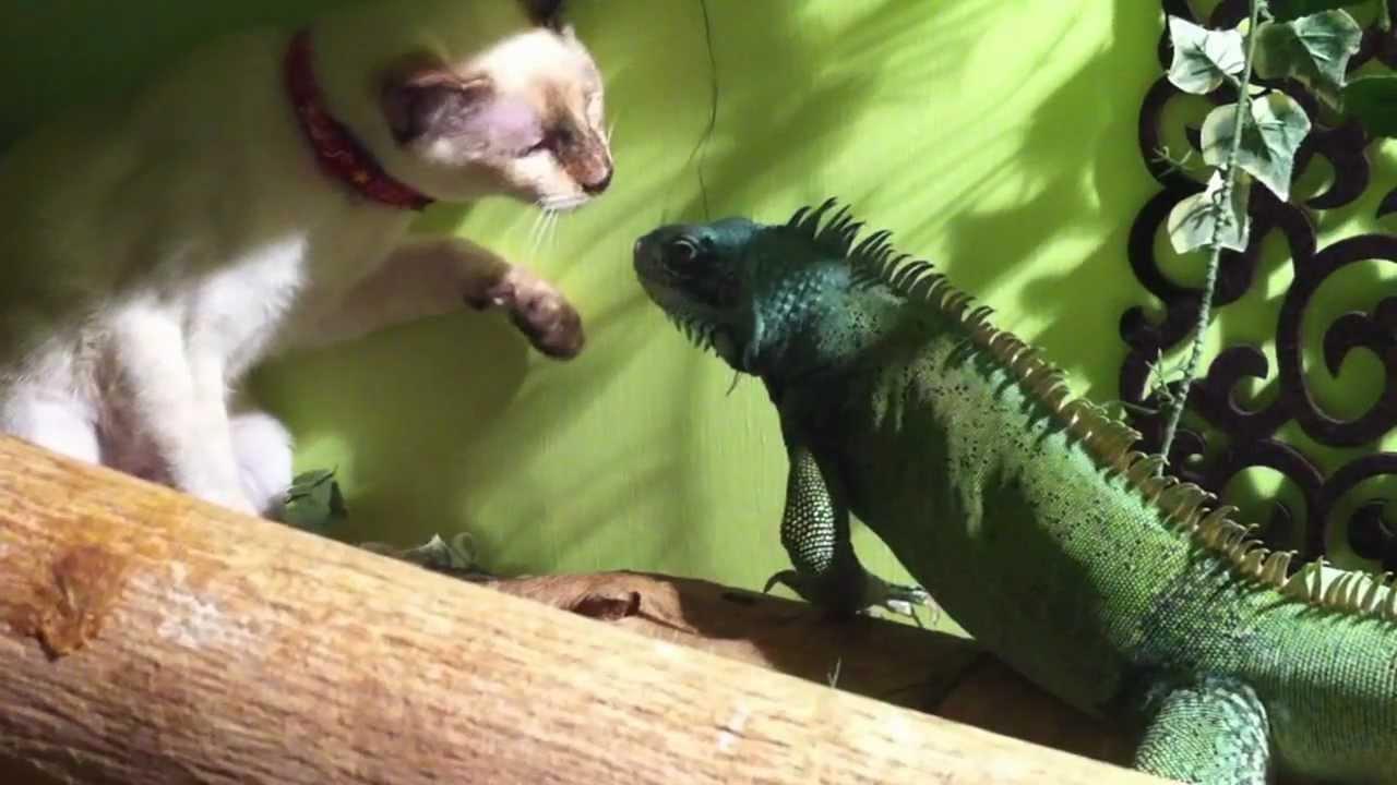 Kitty VS Lizard Showdown! - YouTube