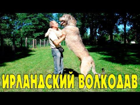DogBro: ИРЛАНДСКИЙ ВОЛКОДАВ. Породы собак.