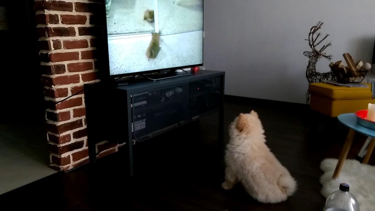 Resultado de imagen para chow chow watching tv
