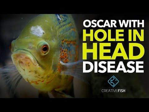 MY OSCAR HAS HOLE IN HEAD DISEASE! Treatment Time