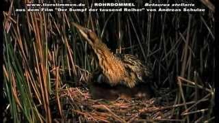 Die Rohrdommel - Botaurus stellaris - ein seltener Vogel