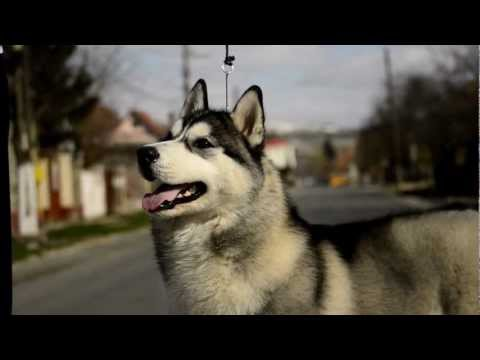 Show Training Siberian Husky