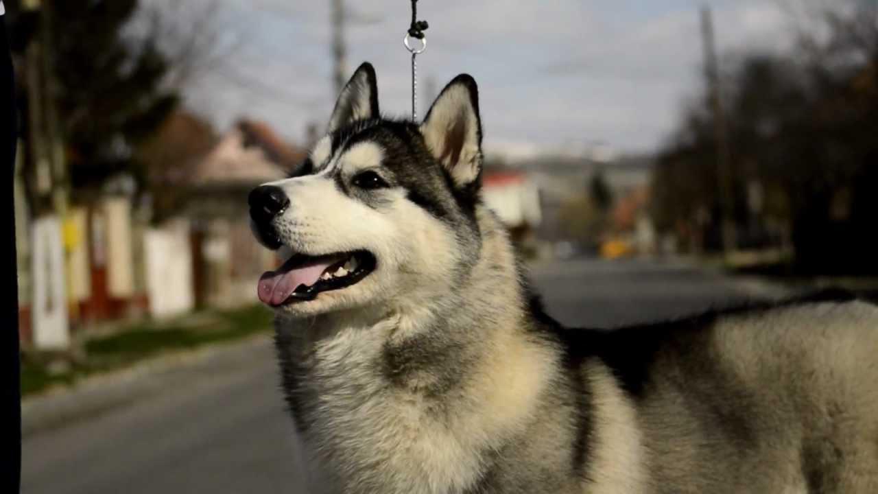 Show training siberian husky youtube - Pictures of siberian huskies ...