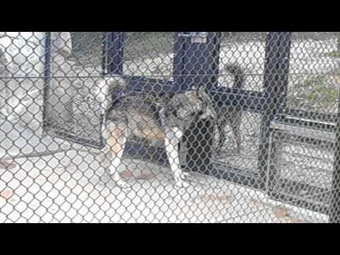 シンリンオオカミEastern Timber-Wolf(名古屋・東山動植物園 NAGOYA Higashiyama Zoo)